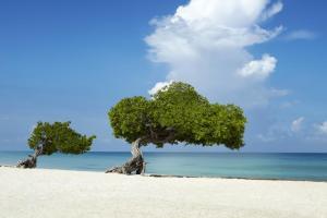 Two Fofoti Trees on the Beach - Copia