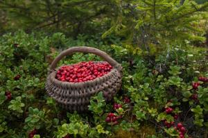picking-cowberries 31677144028 o