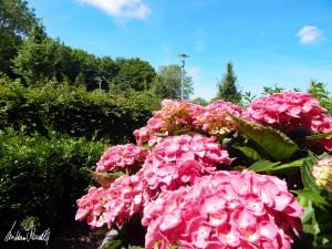 Blumen im Vorgarten Hinter der Mauer in Verden (Niedersachsen) 2019