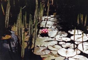 Seerosen im Teich bei Erla Buschold - 25.05.1990