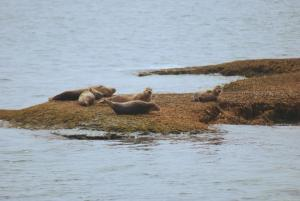 Long Island Seals (c) David Hughes