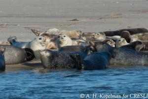 Seal Watching CRESLI Long Island (c) A.H. Kopelman