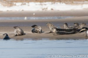 Seal Watching CRESLI Long Island (c) A H Kopelman