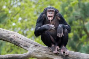 08 Dschungel-Safari (Schimpanse)