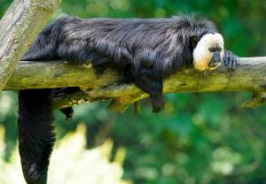 11 Dschungel-Safari - begehbares Gehege (Weisskopfsaki)