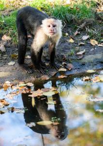 18 Dschungel-Safari (Weissschulterkapuziner)