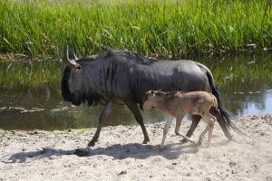 12-Serengeti-Safari (Streifengnu)