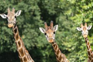 15-Serengeti-Safari (Giraffe)