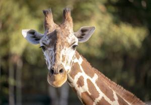 16-Serengeti-Safari (Giraffe)