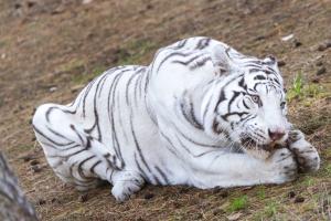 25-Serengeti-Safari (Weißer Tiger)