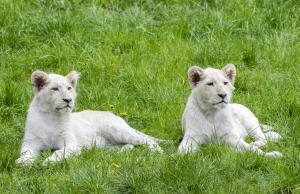 26-Serengeti-Safari (Weißer Löwe)