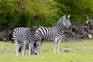 27-Serengeti-Safari (Zebra)