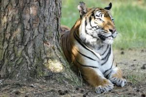29-Serengeti-Safari (Tiger)