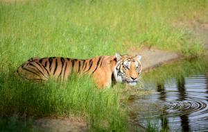 30-Serengeti-Safari (Tiger)