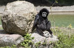 36-Serengeti-Safari (Gibbon)
