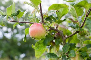 Copyright Sylt Marketing l Holm Löffler Historische Apfelsorten Agathe von Klanxbüll klein